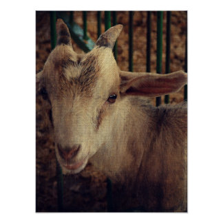 Goat Kid at the County Fair Poster