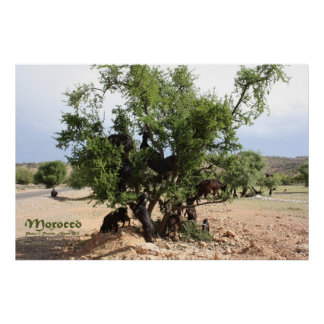 Goats in Trees - Argan Trees, Morocco Poster