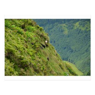 Goats on a very steep hillside post card