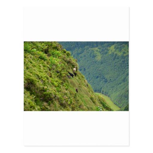 Goats on a very steep hillside postcards