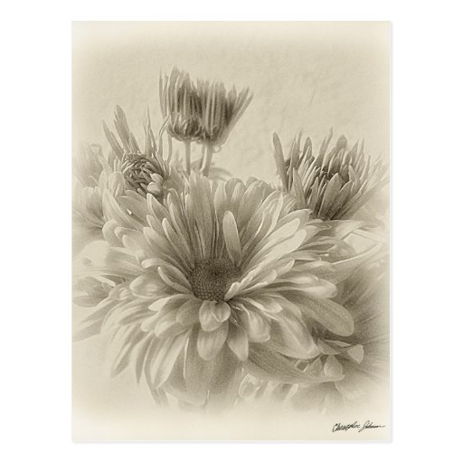 Gold and Brown Chrysanthemums 1 Antiqued Post Card