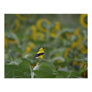 Gold Finch in sunflower field photo poster