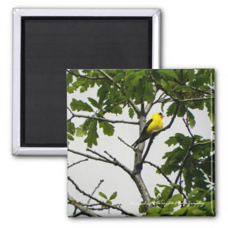 Gold Finch Magnet