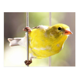 Gold Finch Swinging On Feeder Postcard