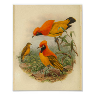 Golden Bird of Paradise Red Yellow Vintage Print