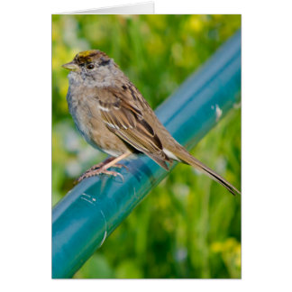 Golden Crowned Sparrow on Blue Pole Card