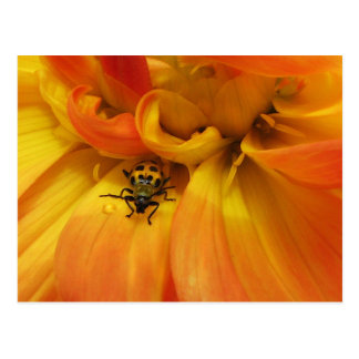 Golden Dahlia with Beetle Postcard
