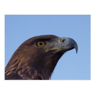 Golden eagle postcard