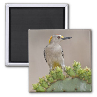 Golden-fronted Woodpecker adult male perched Square Magnet