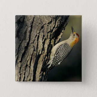 Golden-fronted Woodpecker, Melanerpes 2 Inch Square Button