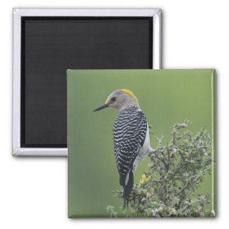 Golden-fronted Woodpecker, Melanerpes 2 Square Magnet