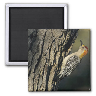 Golden-fronted Woodpecker, Melanerpes Square Magnet