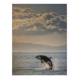 Golden Glow Orca Poster