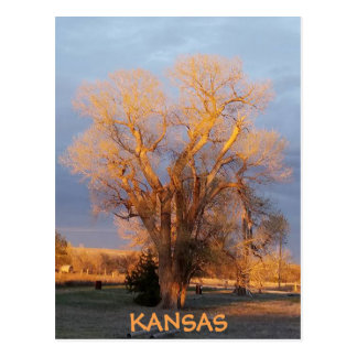 Golden Kansas Cottonwood Tree Postcard