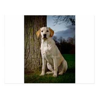 golden Labrador Postcard