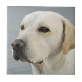 Golden Labrador Retriever Photograph Tile