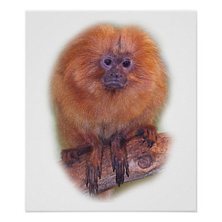 Golden Lion Tamarin, Golden Marmoset Monkey Brazil Poster
