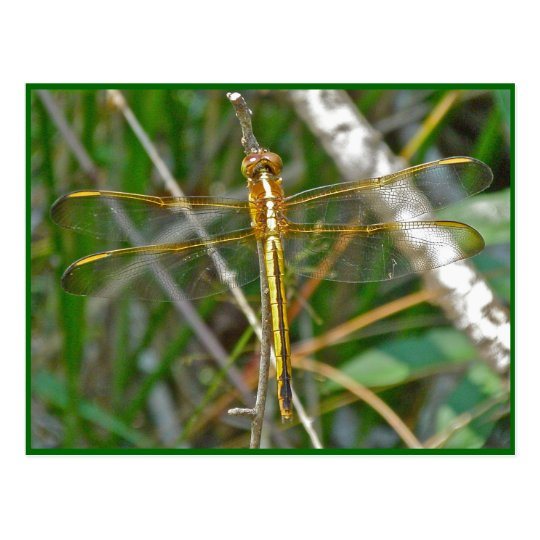 Golden Meadowhawk (Sympetrum) Dragonfly Items Postcard