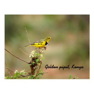 Golden pipit, Kenya, Photo Postcard