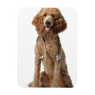 Golden Poodle Dog wearing a stethoscope Rectangular Photo Magnet
