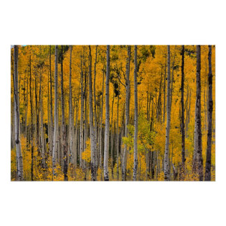 Golden Quakies, Colorado Poster