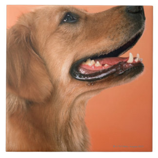 Golden Retriever 7 Tile