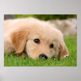 Golden Retriever Cute Puppy Dreaming, Pet Photo Poster