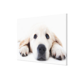 Golden retriever cute puppy lying down canvas print