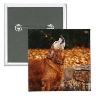 Golden retriever dog howling on path 2 inch square button