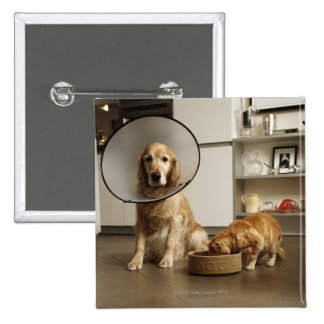 Golden retriever dog with medical collar sitting 2 inch square button