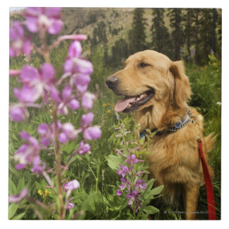 Golden retriever in field tile