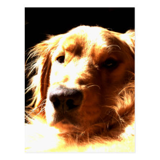 Golden Retriever In Sunlight Postcard