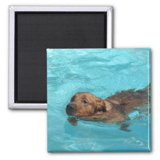 Golden retriever nageant l'aimant
