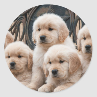 Golden Retriever Puppies Classic Round Sticker
