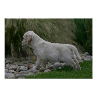 Golden Retriever Puppy Standing Poster