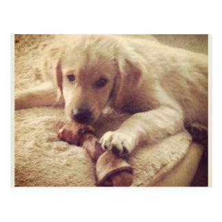 Golden Retriever Puppy with a Bone Postcard