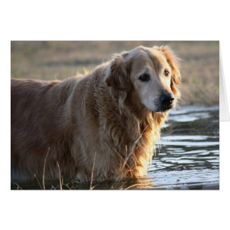 Golden Retriever (Rowdy) standing in water Card