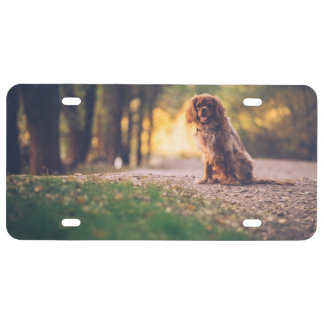 Golden Spaniel dog panting in the sun on path License Plate