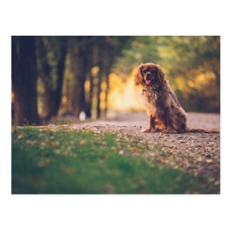 Golden Spaniel dog panting in the sun on path Postcard
