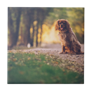 Golden Spaniel dog panting in the sun on path Tile