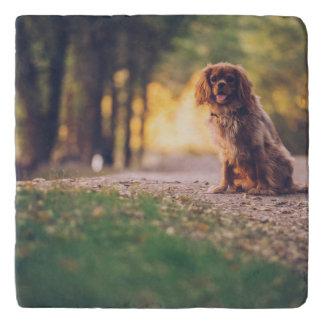 Golden Spaniel dog panting in the sun on path Trivet