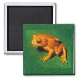 Golden Toad Magnet