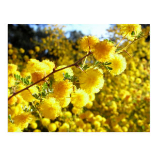 Golden Wattle, Australian native flower postcard