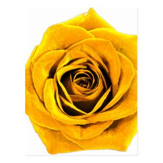 Golden Yellow Rose 20171027b Postcard