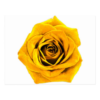 Golden Yellow Rose 20171027b Postcard