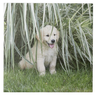 Goldendoodle puppy sitting under tall grasses tile