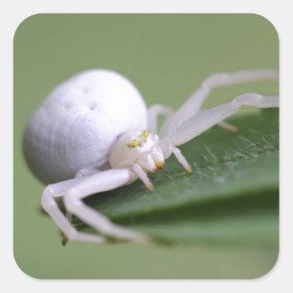 Goldenrod crab spider or flower crab spider square sticker