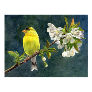 Goldfinch and Cherry Blossoms Postcard