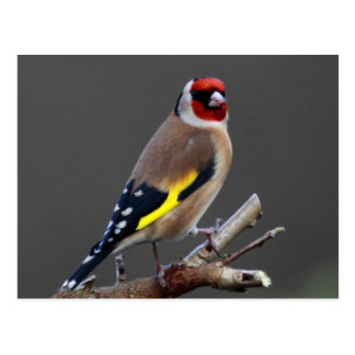 Goldfinch bird postcard
