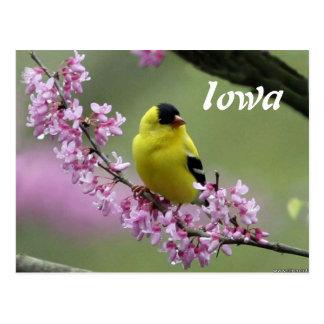Goldfinch, Iowa's State Bird Postcard